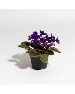 """African Violet Miniature Assorted 2"""""""