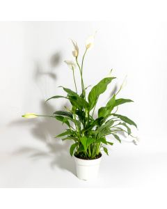 """Peace Lily 6"""""""