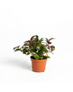 """Gaultheria Wintergreen 2"""" Assorted"""