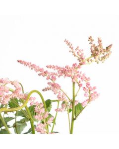 Astilbe chinensis Little Vision In Pink 1g