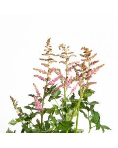 Astilbe chinensis Vision In Purple 1g