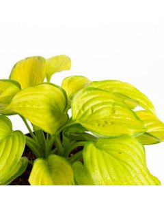 Hosta Stained Glass 1g